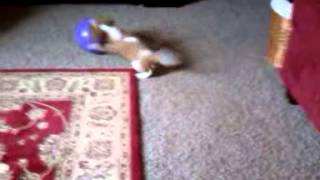 Cavalier King Charles Spaniel - Sophie Playing With The Ball