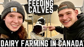 Feeding Calves With Neline!