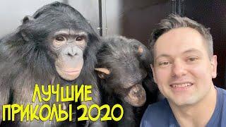 ШОК, САМАЯ СМЕШНАЯ ОБЕЗЬЯНА шимпанзе в мире !Смотреть всем! Лучшие приколы с животными 2020