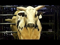 These Superstar Bucking Bulls Are Worth Up To $500,000