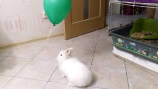 Ангорский кролик играет с воздушным шариком
