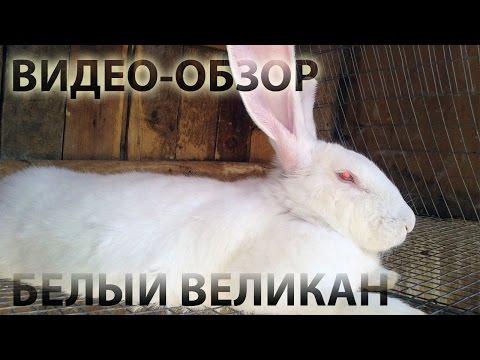 фото в кролик самый большой в мире
