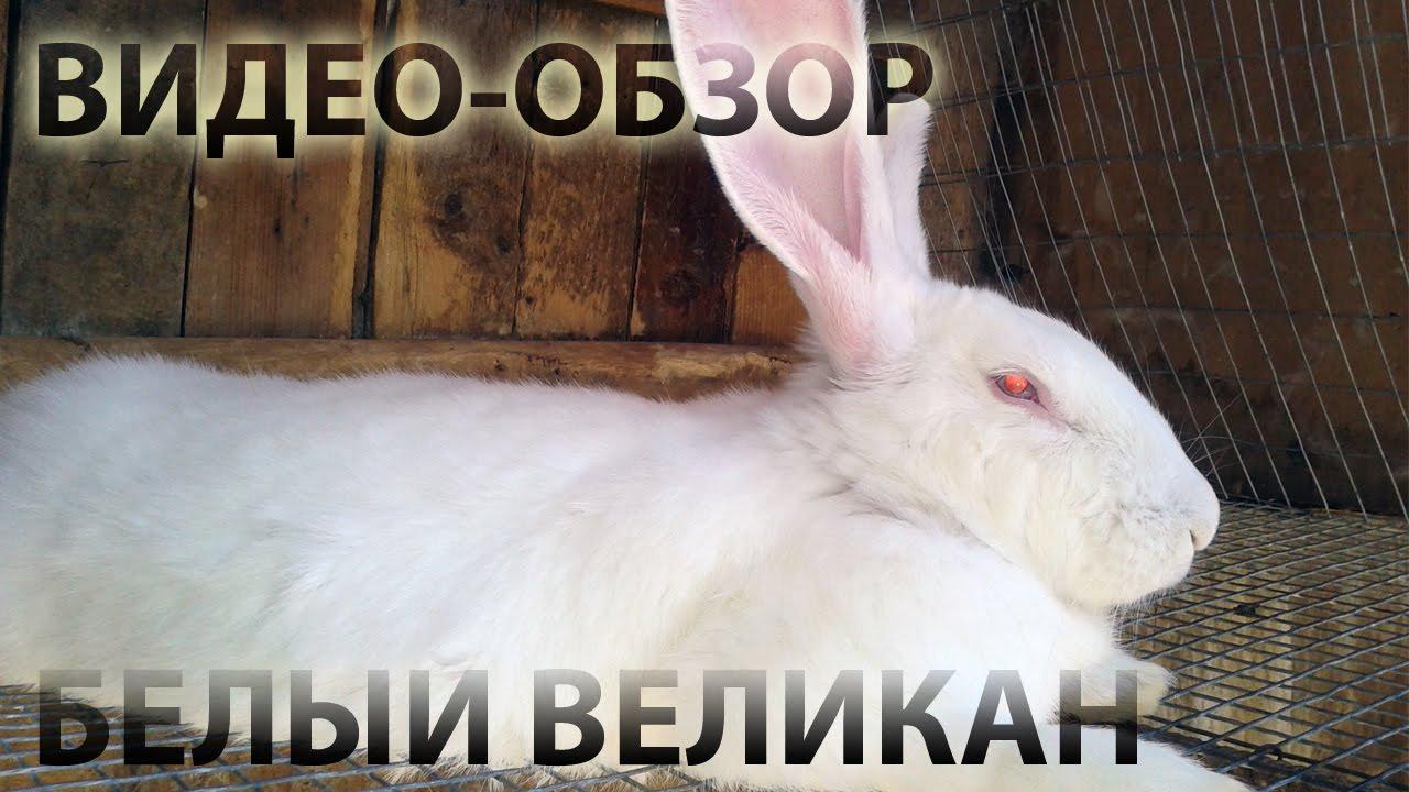 Кролики новозеландские olx. Ua. Кролики французский баран, нзк, новозеландский красный. Животные » сельхоз животные. 100 грн. Алчевск.