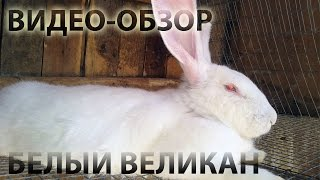 Лучшие большие породы кроликов:  Белый Великан.(Кролик породы белый великан является одним из самых популярных среди кролиководов бывшего СССР. Эта крупна..., 2015-10-31T15:46:54.000Z)