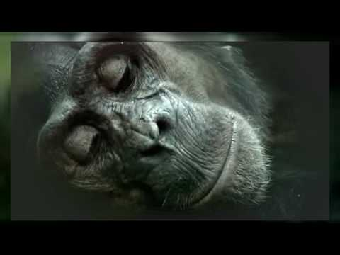 Gorilla Documentary   Forest Journey of Chimpanzee   Chimpanzees In Captivity