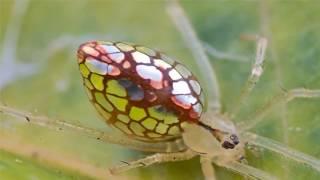 видео Зеркальный паук