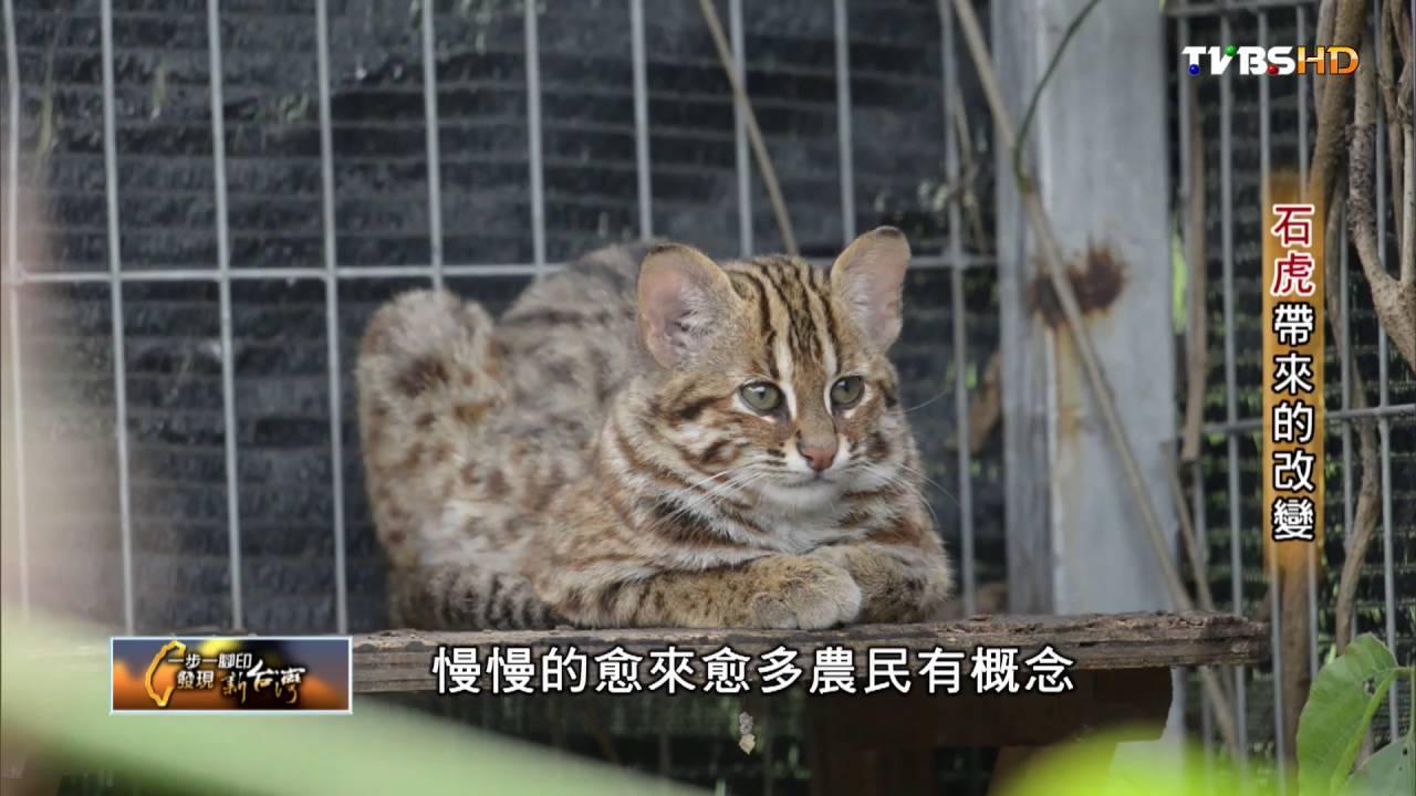 第一瀕臨動物保育石虎 石虎帶來的改變 TVBS一步一腳印 20160724 (3/4) - YouTube