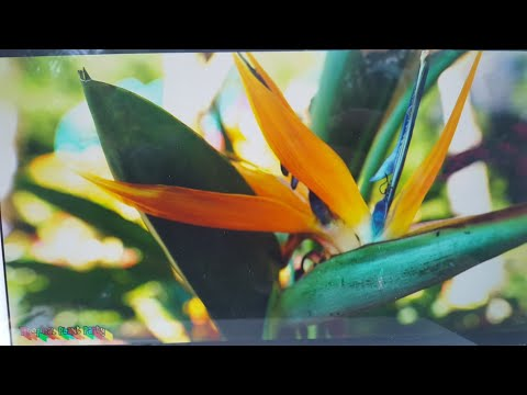 BIRD OF PARADISE BLOOM ENCOURAGEMENT! // TROPICAL PLANT PARTY