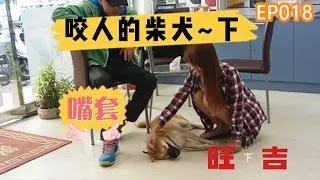 狗狗教學影片-會咬人的柴犬 旺吉 下-狗狗行為矯正訓練