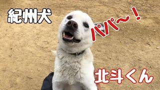 【関連動画】 保健所から来た土佐ピット ケンくん 可愛いパパっ子!?Do...