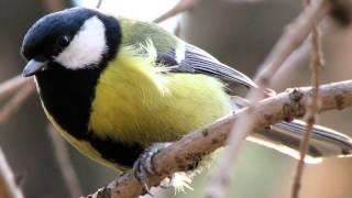 Звуки Природы.  Пение птиц - Большая Синица - Звуки птиц.