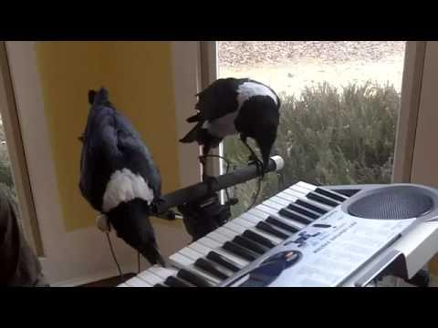 "Pied Crows ""Mac & Moe"" playing piano"