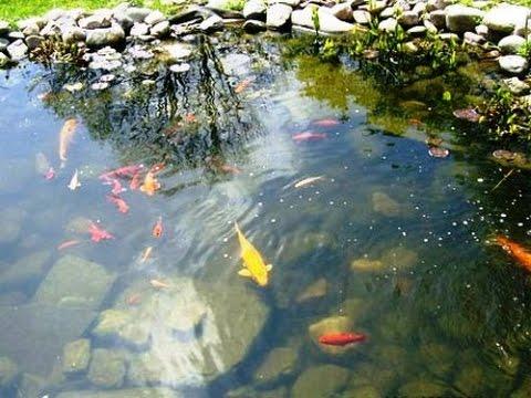 Как разводить рыбу в дачном пруду