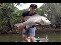 Tiny creek Monster Mangrove Jack!!