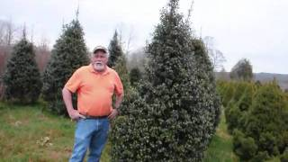 We sell XXX Hollies   The American Holly Tree in eastern Us States