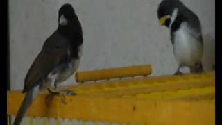 Piado Femea Coleira 2 HD  (DUMARIO)