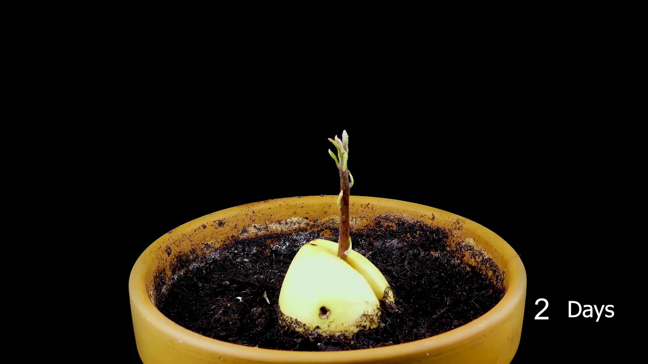 Growing avocado from seed Avocado seed growing time lapse
