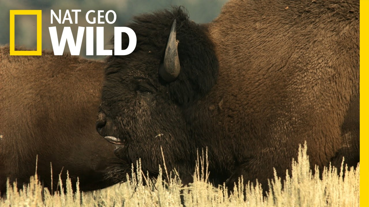 Behind the Scenes: Bison Rut | Wild Yellowstone - YouTube