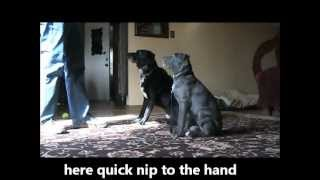 Puppy Training Skye Cane Corso North Aurora Il