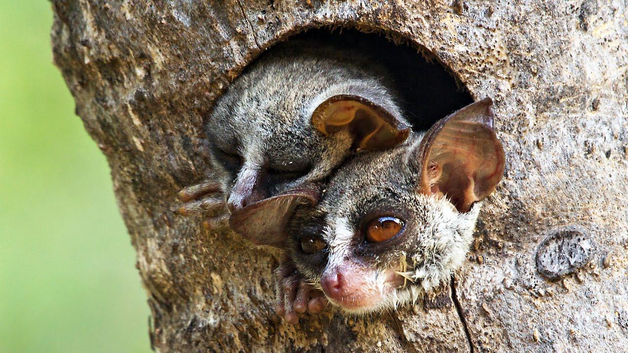 bushbaby sleepy in the tree
