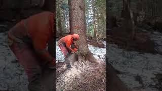 Zrywka drewna Bieszczady.