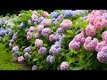 4K HDR Video - Beautiful Hydrangea Flowers And NAN LIANG GARDEN