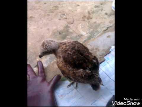 Falcondri balikpapan