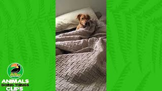 Adorable Dog Jolted Out of Sleep | Animals Doing Things Clips