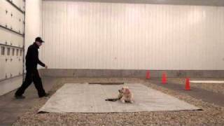 Bentley (golden Retriever) - Boot Camp Dog Training Graduate