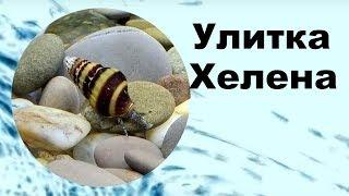 Улитка Хелена, чем кормить, размножение, содержание в аквариуме. (Anentome Helena).