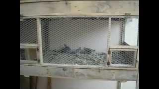 Pollos de codorniz nacidos en mi incubadora casera   Video 21   Dia 22 He sacado las 5 mayores