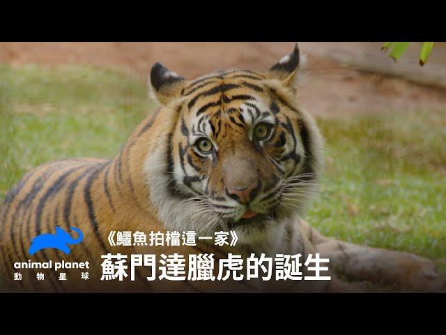蘇門達臘虎的誕生 動物星球頻道