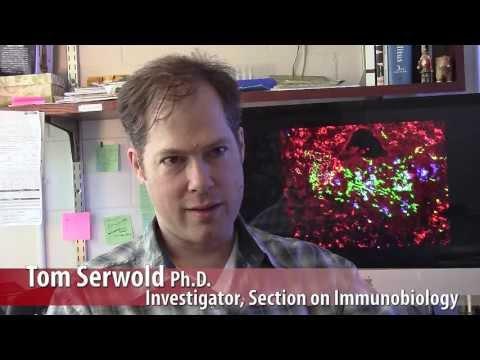 Exploring Autoimmunity: Why Good T Cells Go Bad