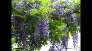 Blue Wisteria Is A #1 Flowering Vine For Homeowners