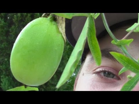 *Passion Fruit Vine Plant* +Loaded with Delicious Fruit+2017+