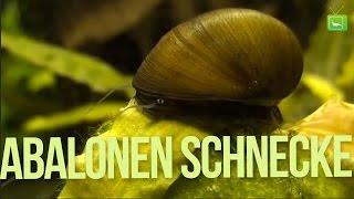 Algenfressende Schnecke - Die Abalon Schnecke