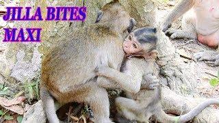 Jilla bites Maci ! #Monkey