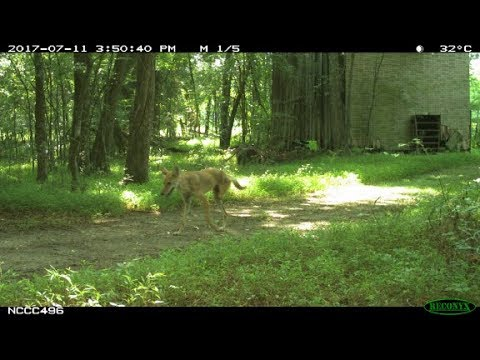 You won't believe how many legs this coyote has