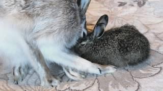 Перчик и зайчонок