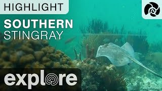 Southern Stingray - Cayman Reef Live Cam Highlight thumbnail