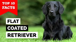 FlatCoated Retriever  Top 10 Facts