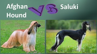 Afghan Hound VS Saluki  Breed Comparison  Saluki and Afghan Hound Differences