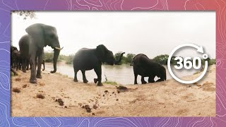 Elephants Go Swimming | Bring Their Swim Trunks (360 4K) thumbnail