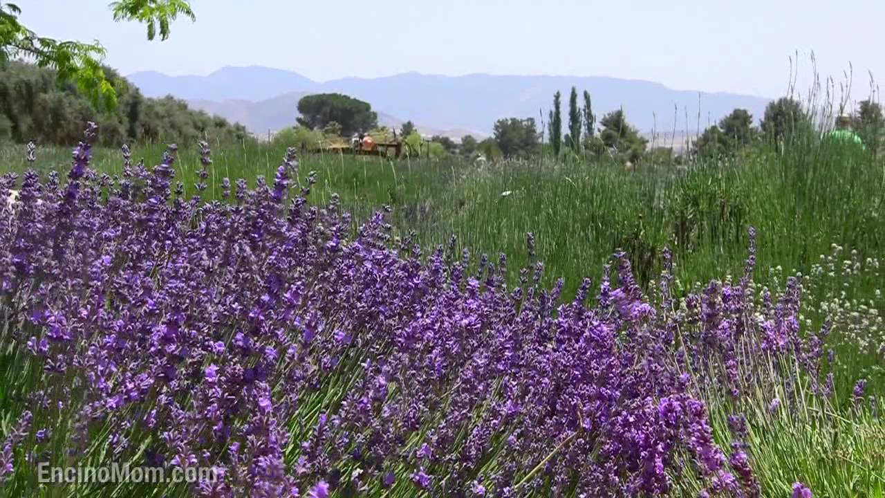 When Does Lavender Bloom In June Youtube