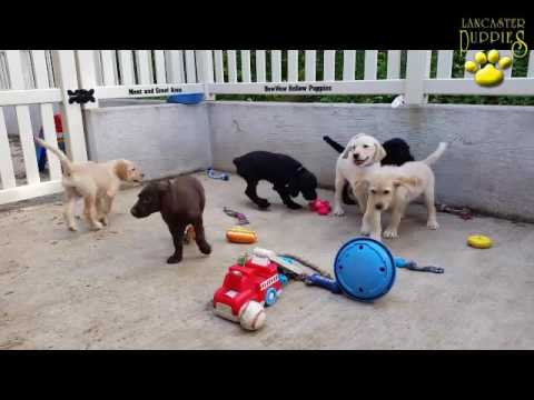 Great Labradoodle Puppies