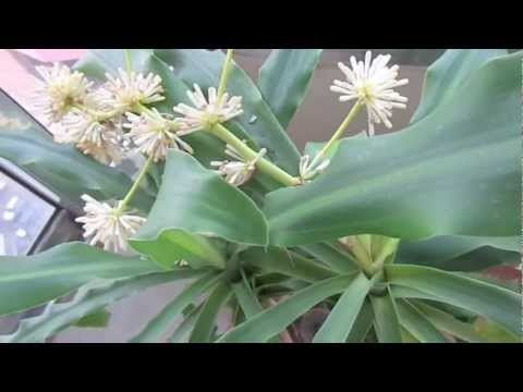La Flor del palo de Brasil. La Buena Suerte lleg� a tu Hogar.