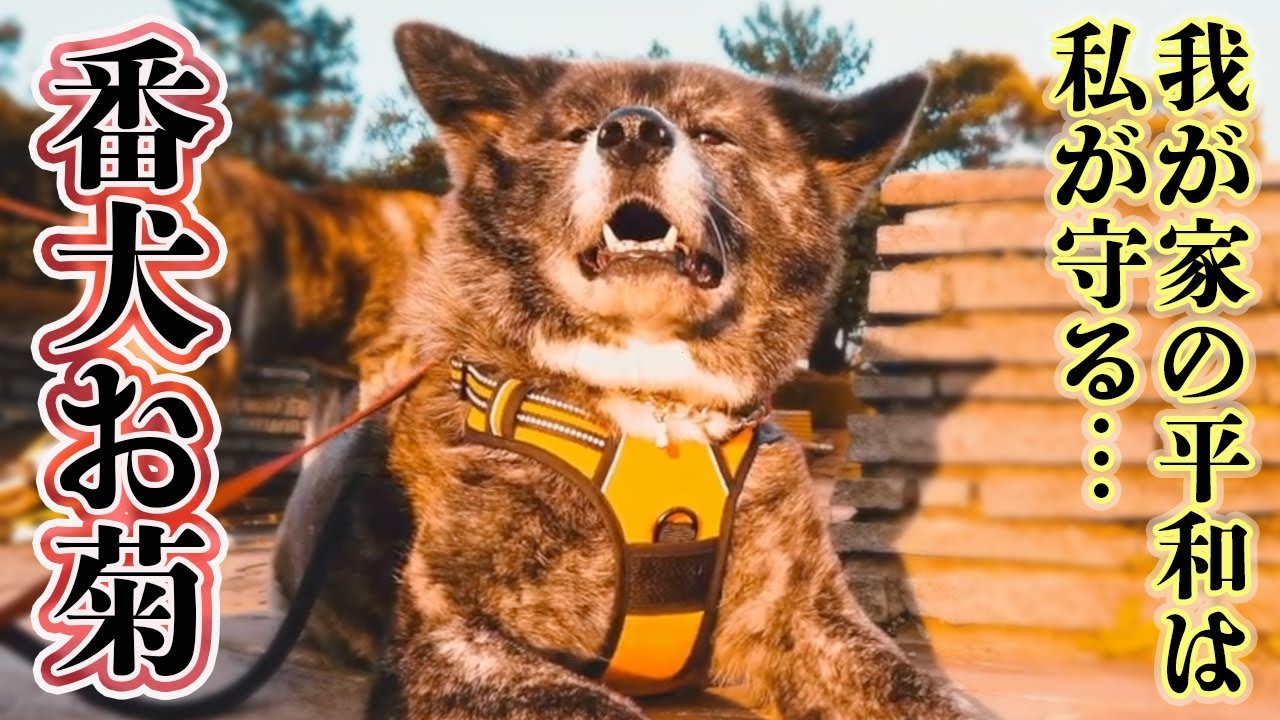 【秋田犬】侵入者は許さない!?番犬お菊の状況別、活躍記録【大型犬】【akita dog】