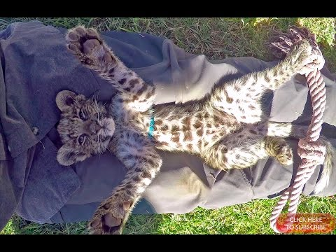 Belly Rubbing A Baby African Spotted Leopard Cub To Sleep – Cat Plays & Falls Asleep In Mans Lap