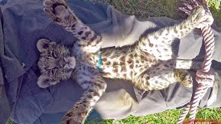 Belly Rubbing A Baby African Spotted Leopard Cub To Sleep - Cat Plays & Falls Asleep In Mans Lap