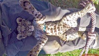 ひとなつこい猫みたいに人間の膝の上で眠るヒョウの赤ちゃん